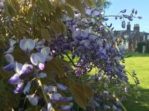 The wisteria is in full bloom at last, and clearly loved its heavy prune last year, it has never looked more lovely.